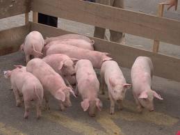 Comprar Pruebas diagnosticas para Porcinos