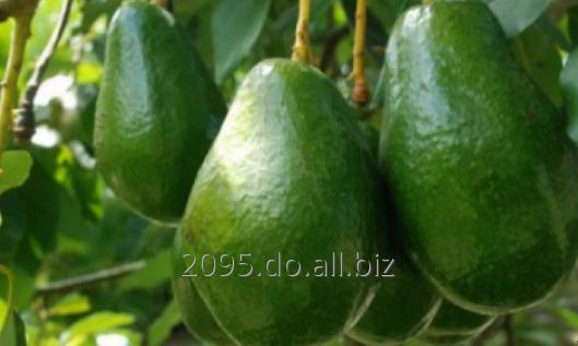 Comprar Avocado verity, CIF conditions