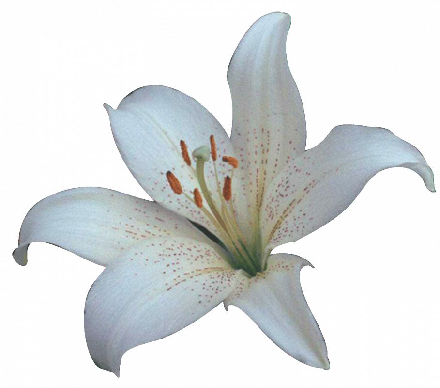 Comprar Lilium oriental