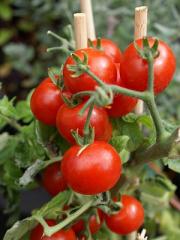 Bandeja Tomate Cherry 1/1Lb. Famosa