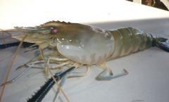 El camarón gigante