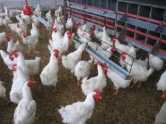 Pruebas diagnosticas para pollos y pavos