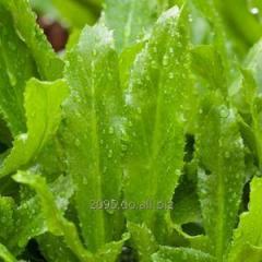 Cilantro de tierra o Eryngium foetidum
