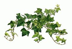 hiedras, ivy