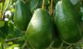 Avocado verity, CIF conditions