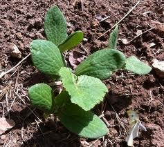 Pedido Suministro de semillas y plántulas